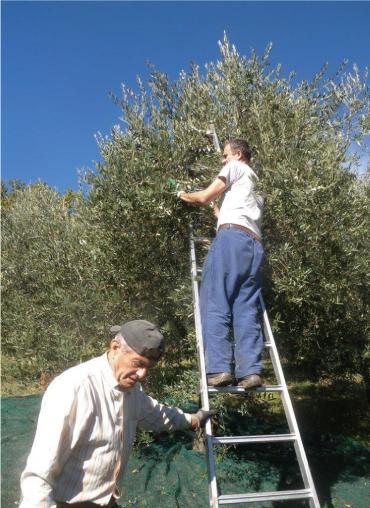 オリーブの実 収穫